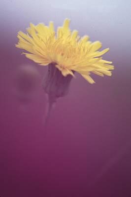 daisy1a