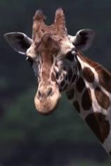 giraffea