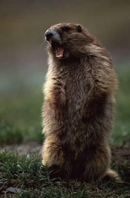 marmotscream1da