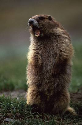 marmotscream1da