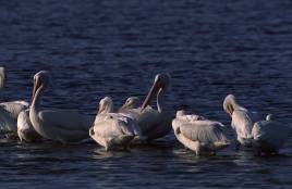 pelicanswhite1a