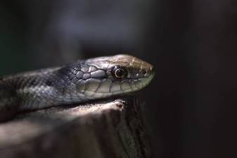 snake1a