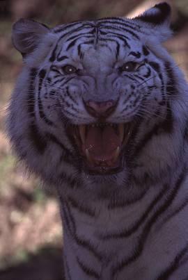 tigerwhitea