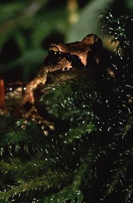 treefrog1a