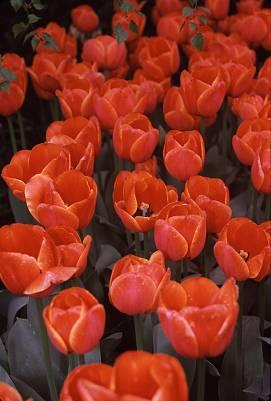 tulipsreda