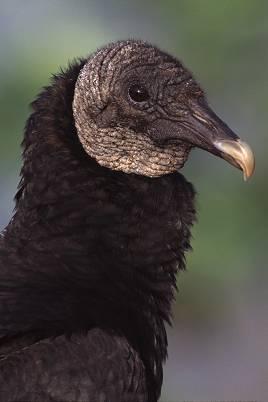 vultureblk2a