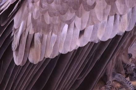 vulturegriffonfeathersa