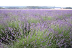 lavender festival 2009 (16)