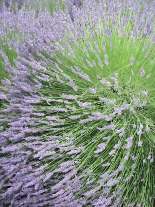 lavender festival 2009 (19)