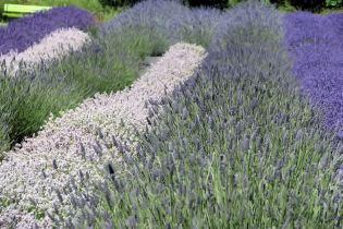 lavender festival 2010 (20)