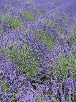 lavender festival 2010 (37)