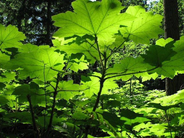 Devils club leaves photographed by Lorelle VanFossen backlit in the forest.