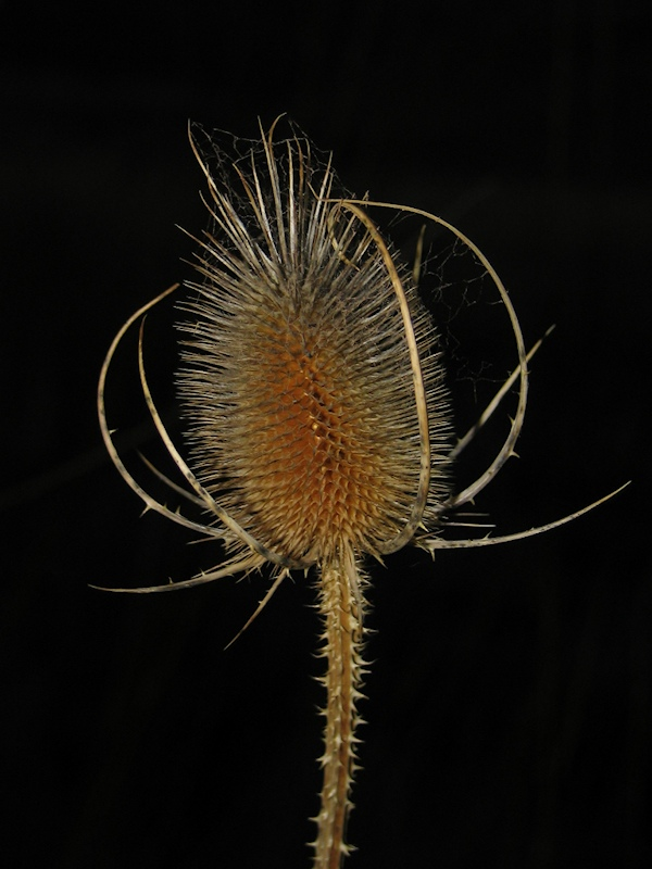 Dried Thistle phtographed with flash, thus the background goes black. Photography by Lorelle VanFossen.