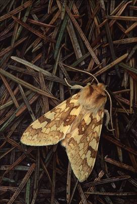 Moth on pine needles on ground, photography by Brent VanFossen.