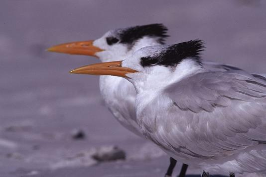 Pair of Arctic Terns on beach, photography by Brent VanFossen.