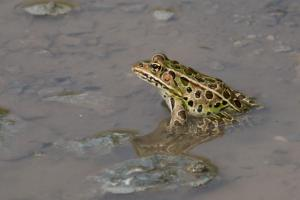 Northern leopard frog -- 2018 Carden Challenge