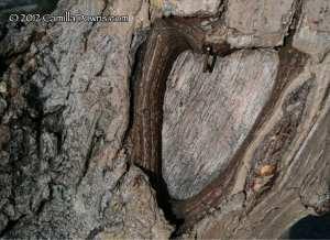 heart-in-tree-audrey-harris-park-2012