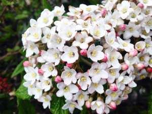 Flowering Bush Vintage Lake April 2017