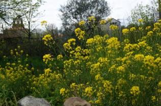 Nabos en flor