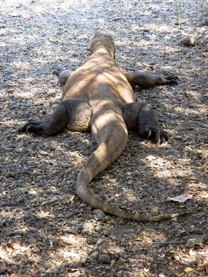 Komodo (49)