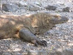 Komodo (51)