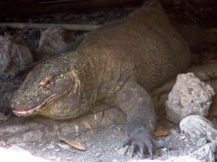 Komodo (57)