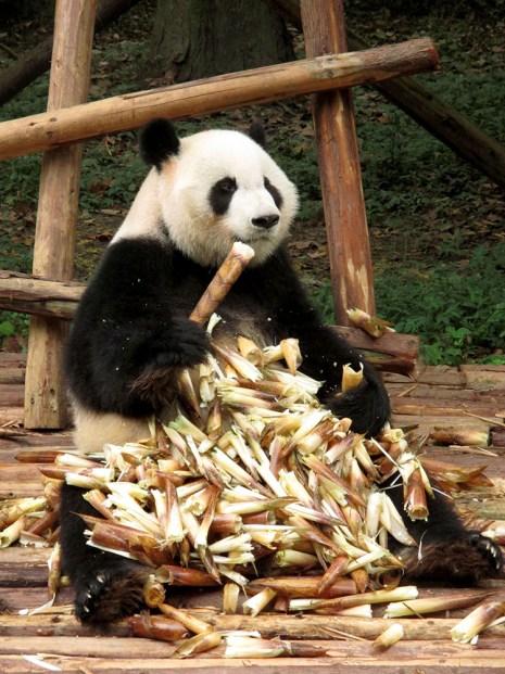 Panda (6)
