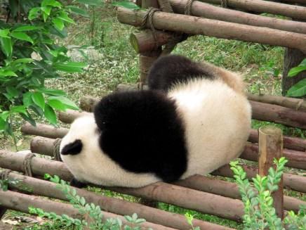 Panda (60)