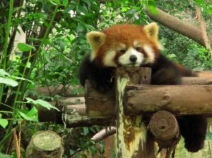 Panda (68)