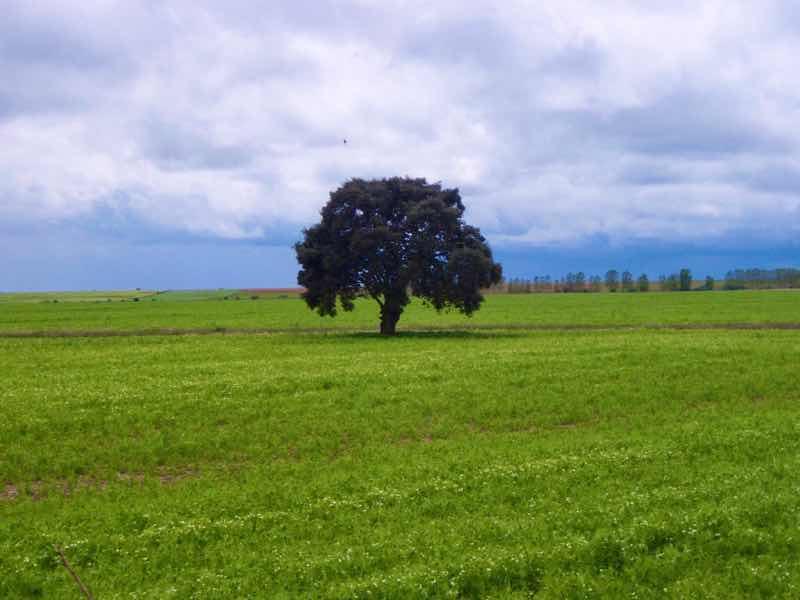 512 カルサディージャ・デ・ラ・クエッサ カミーノ 17km一本道 一本の木