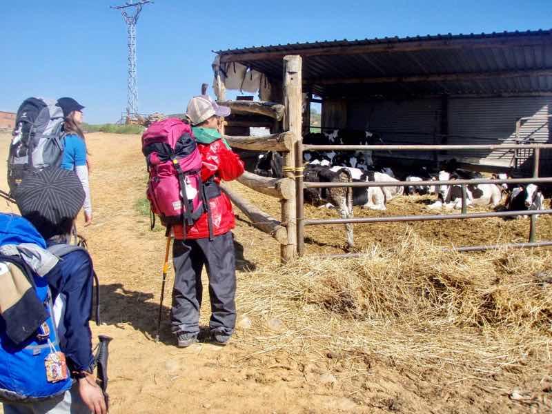 520 カミーノ オルビゴ 田舎道 12クリス 牛小屋
