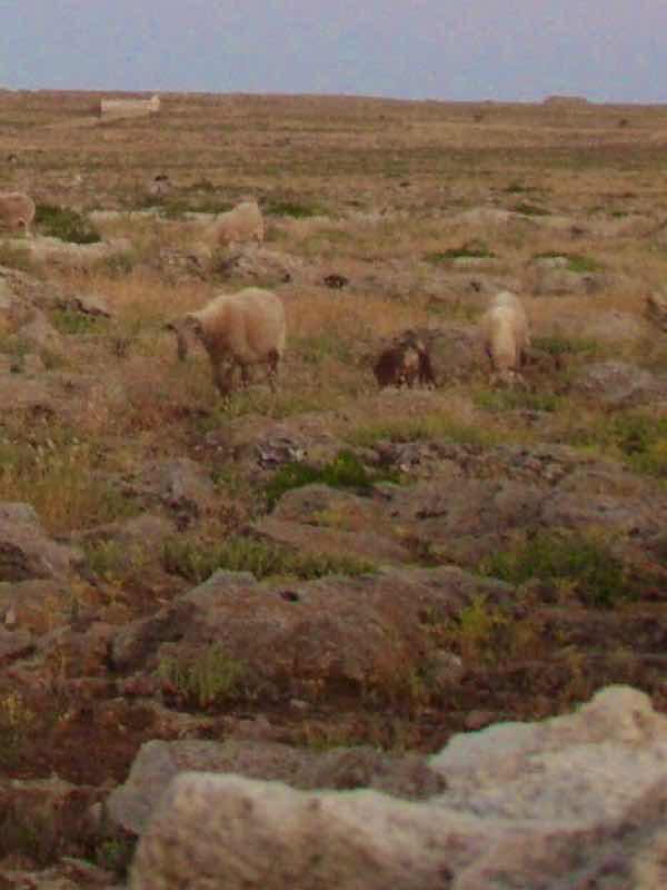 623メノルカ島 Menorca ナティ道 羊