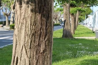 Rúa dos Irmandiños trees