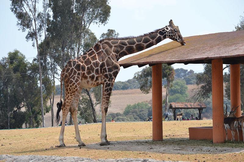 ¡Insólito! Curiosidades de las jirafas