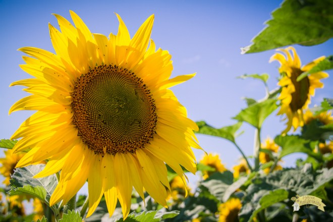 The sunflower figures heavily in the story of The Calendar Girls. It is a symbol of remembrance, forgiveness, friendship optimism and renewal. Photo courtesy: Jenny Dewey Rohrich