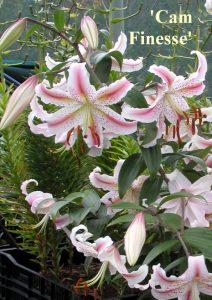 Oriental Hybrid Lilium Cam Finesse
