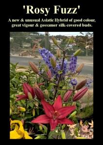 Asiatic Lilium 'Rosy Fuzz'