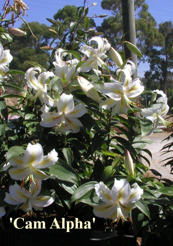 Oriental Hybrid Lilium 'Cam Alpha'