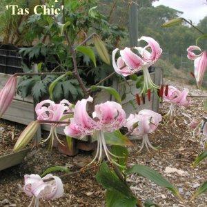 Lilium speciosum 'Tas Chic'