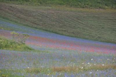 Cammino Terre Mutate Tappa 7 Norcia - Castelluccio di norcia la fioritura della piana di castelluccio
