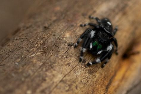 Daring/Bold Jumping Spider Phidippus audax