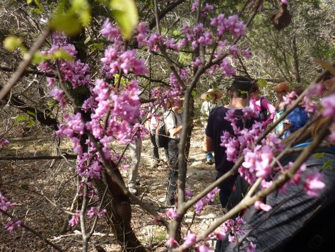 by the redbud