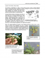 Family Apiaceae