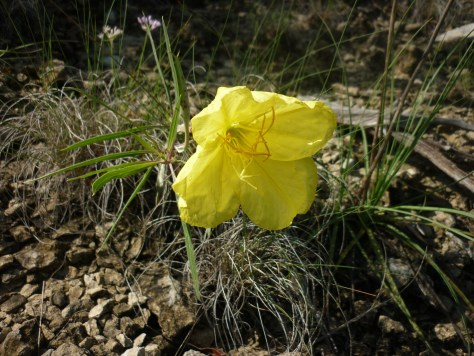 Missouri primrose.Oenothera missouriensis