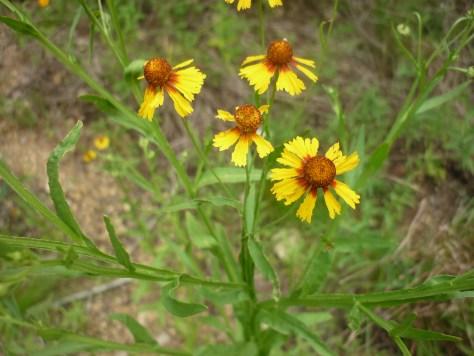 Sneezeweed Helenium quadridentatum