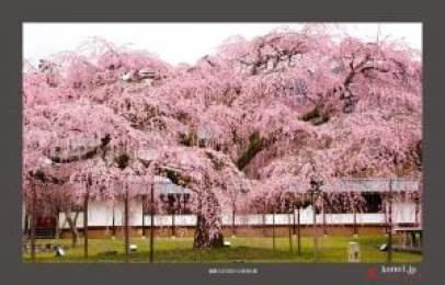 Hoa Anh Đào ở Đền Daigo
