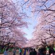 Hoa Anh Đào ở công viên Ueno Onshi - Tokyo