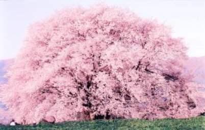 Cây Hoa Anh Đào hơn 400 năm tuổi ở Kumamoto