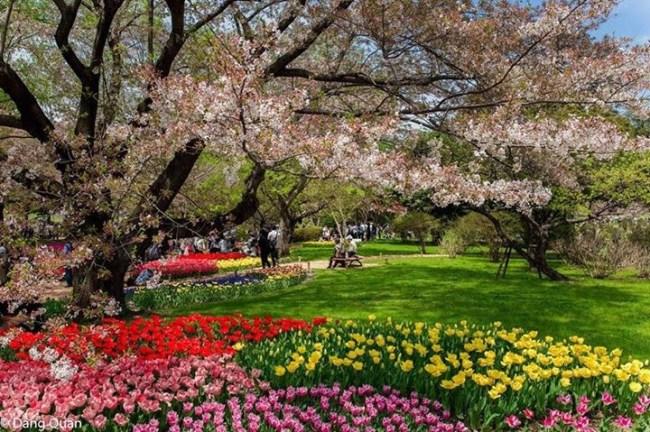 Hoa Sakura cùng khoe sác cùng các loài hoa khác Tachigawa Nhật Bản