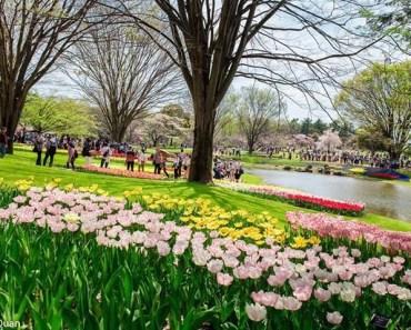 Đi ngắm hoa đẹp rực rỡ ở công viên Tachigawa Nhật Bản